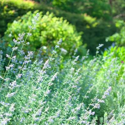 「セージの咲く庭」の写真素材
