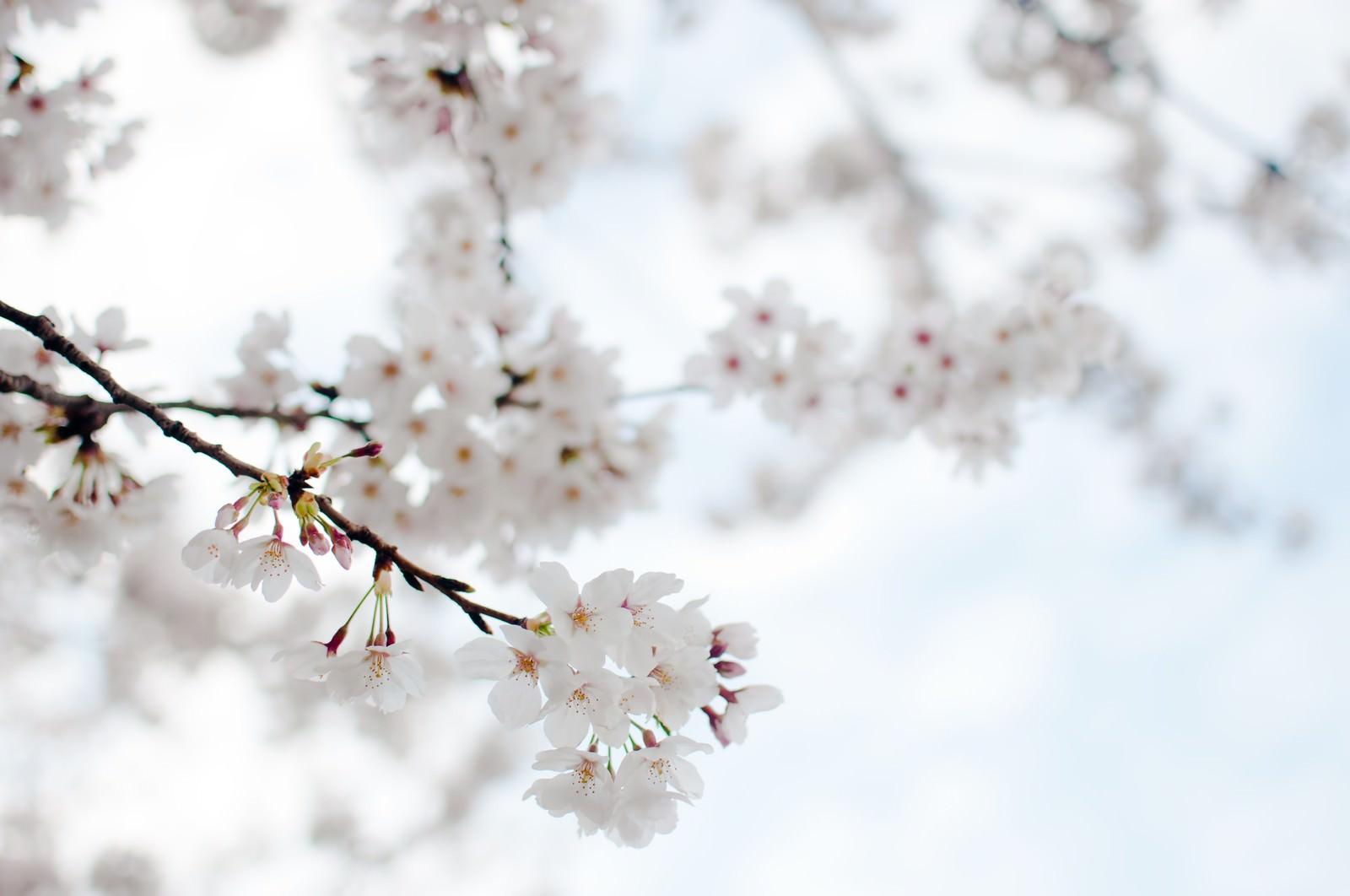 「たおやかにゆれる桜」の写真