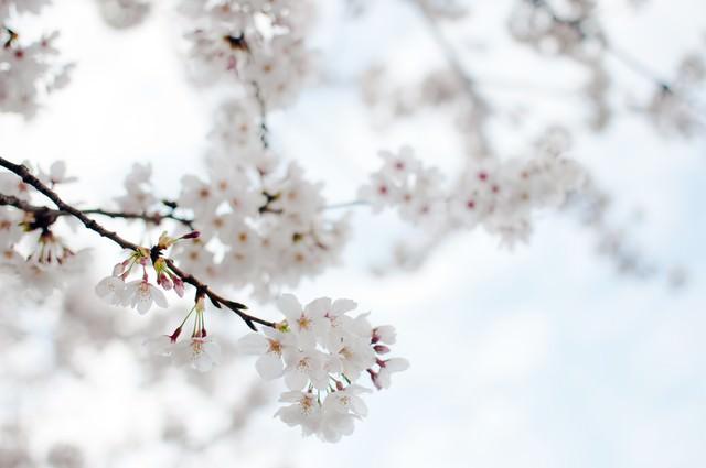 たおやかにゆれる桜の写真