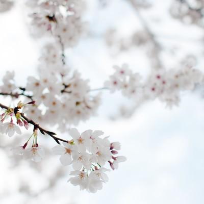 「たおやかにゆれる桜」の写真素材