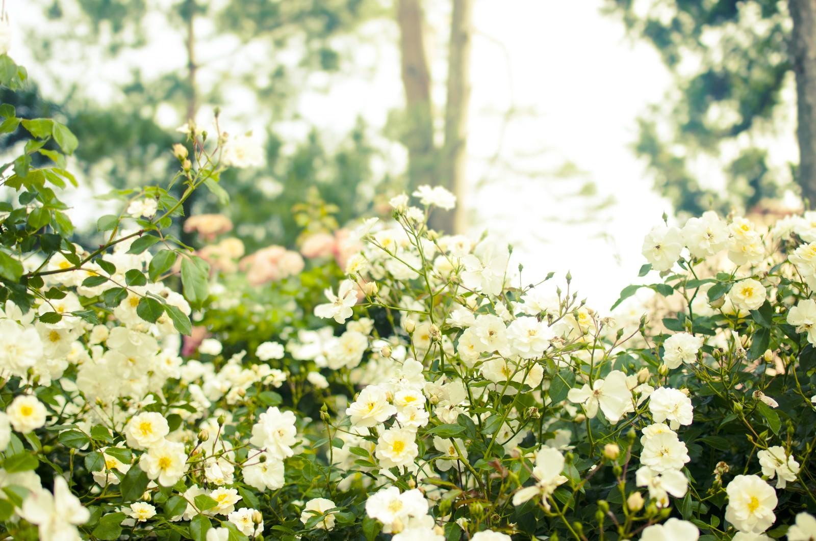 「木漏れ日の中に咲くバラ」