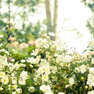 木漏れ日の中に咲くバラの写真