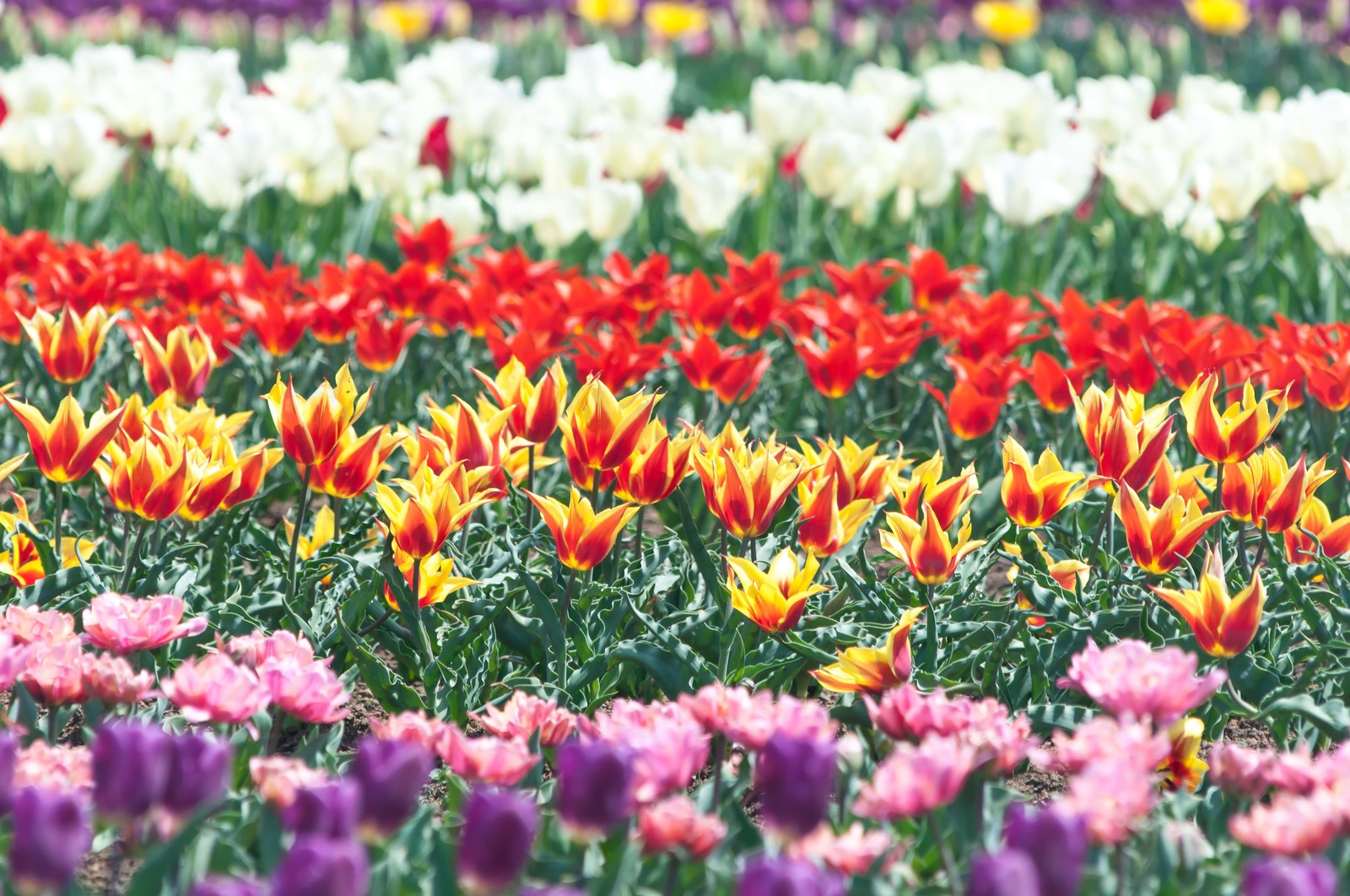 「咲き揃うチューリップ」の写真