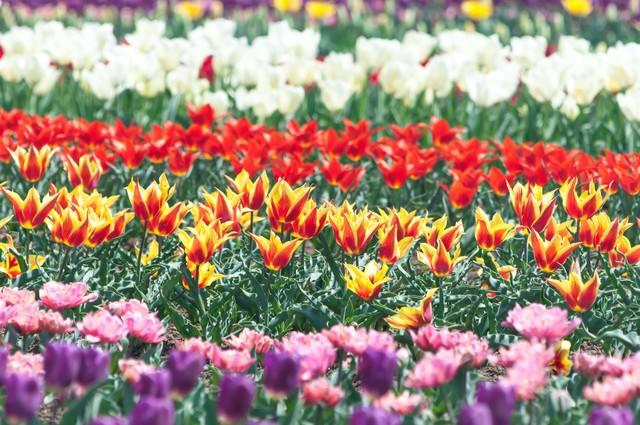咲き揃うチューリップの写真