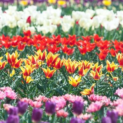 「咲き揃うチューリップ」の写真素材