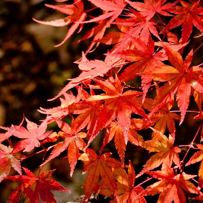 「照る山紅葉」の写真素材
