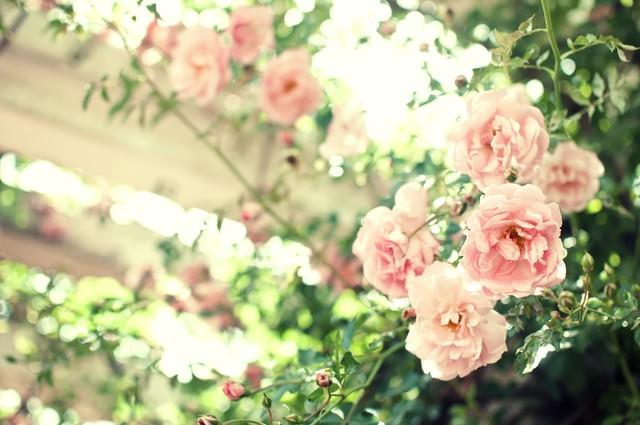 優しい光がおりる場所(薔薇)の写真