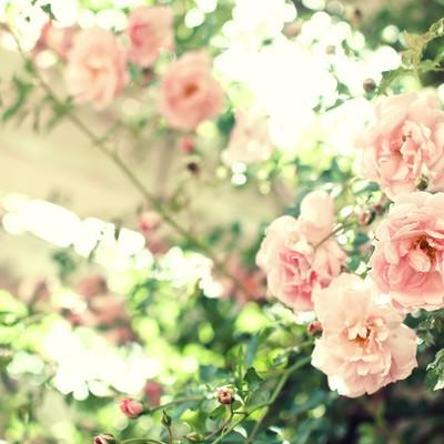 「優しい光がおりる場所(薔薇)」の写真素材
