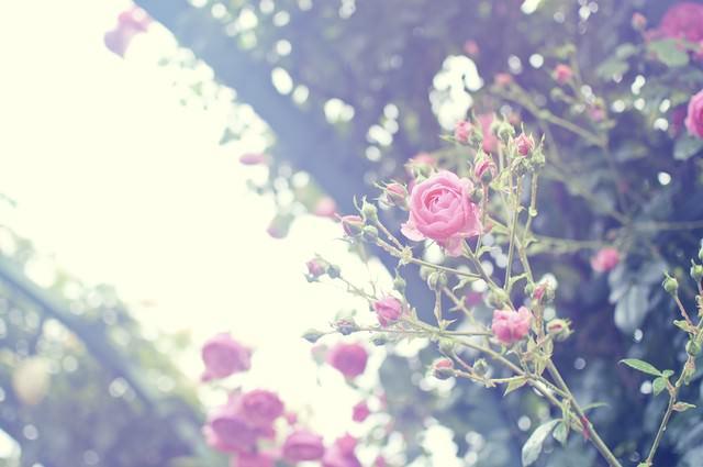 雨上がりの静かな朝(バラ)の写真