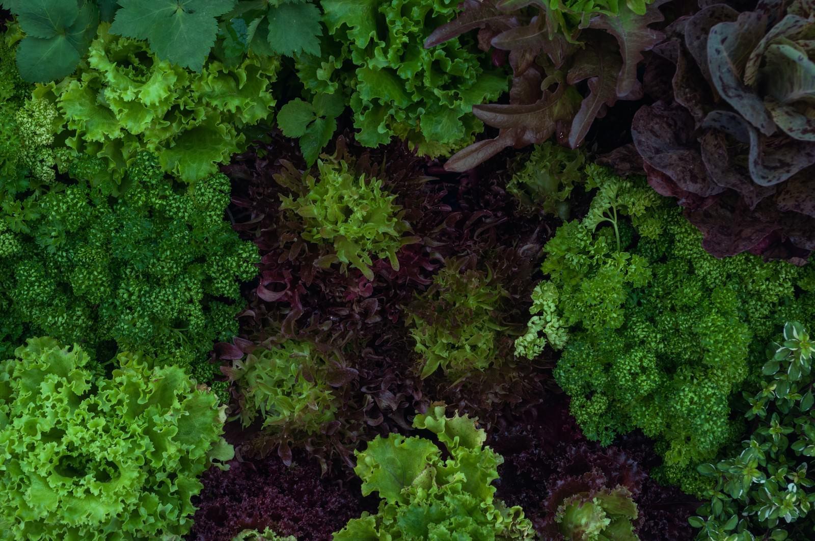「ガーデンレタスとパセリ」の写真