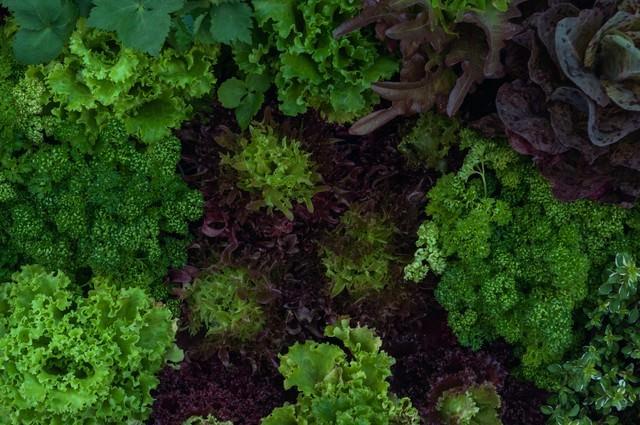 ガーデンレタスとパセリの写真