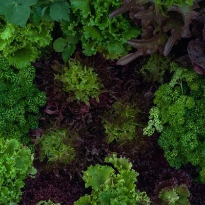 「ガーデンレタスとパセリ」の写真素材