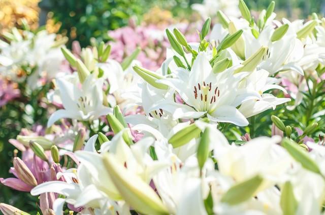 花開く百合の写真