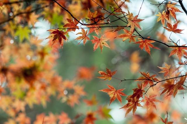 色づくモミジの写真