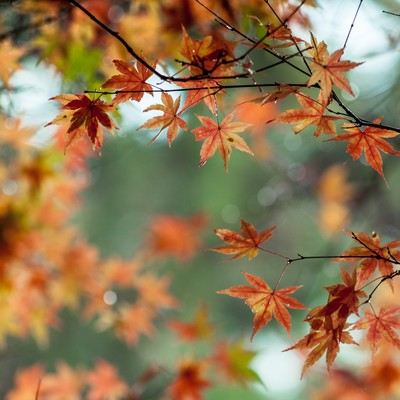 「色づくモミジ」の写真素材