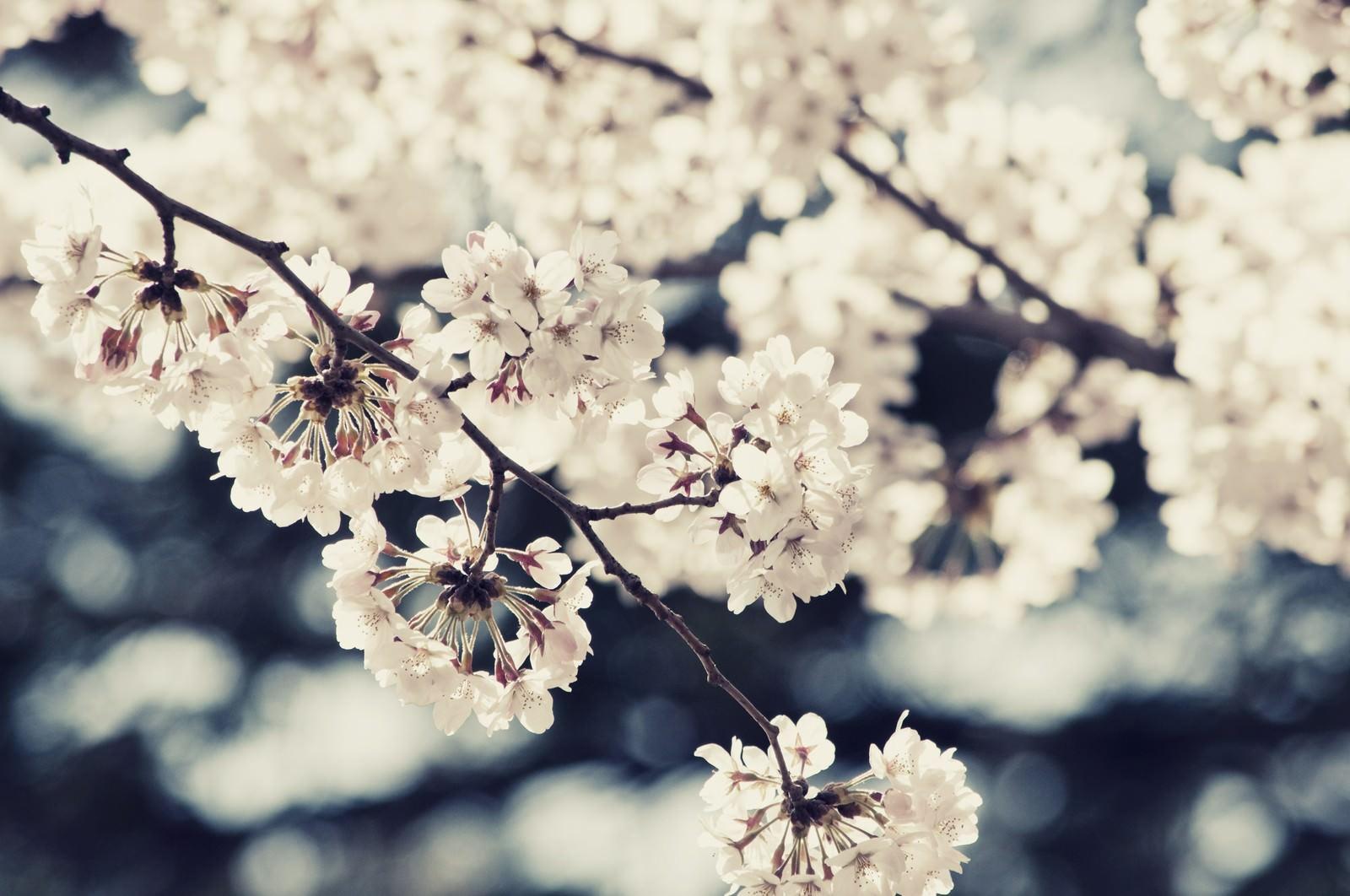 「風に踊る桜」の写真