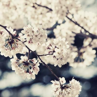 風に踊る桜の写真