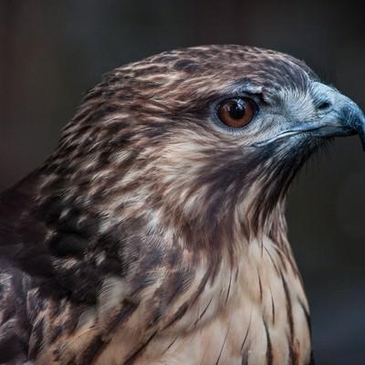 ノスリ(鳥)の横顔の写真