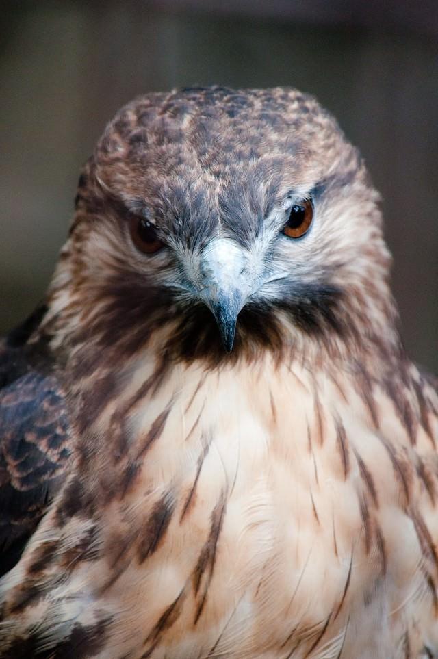 ノスリ(鳥)の正面顔の写真