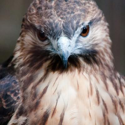 「ノスリ(鳥)の正面顔」の写真素材