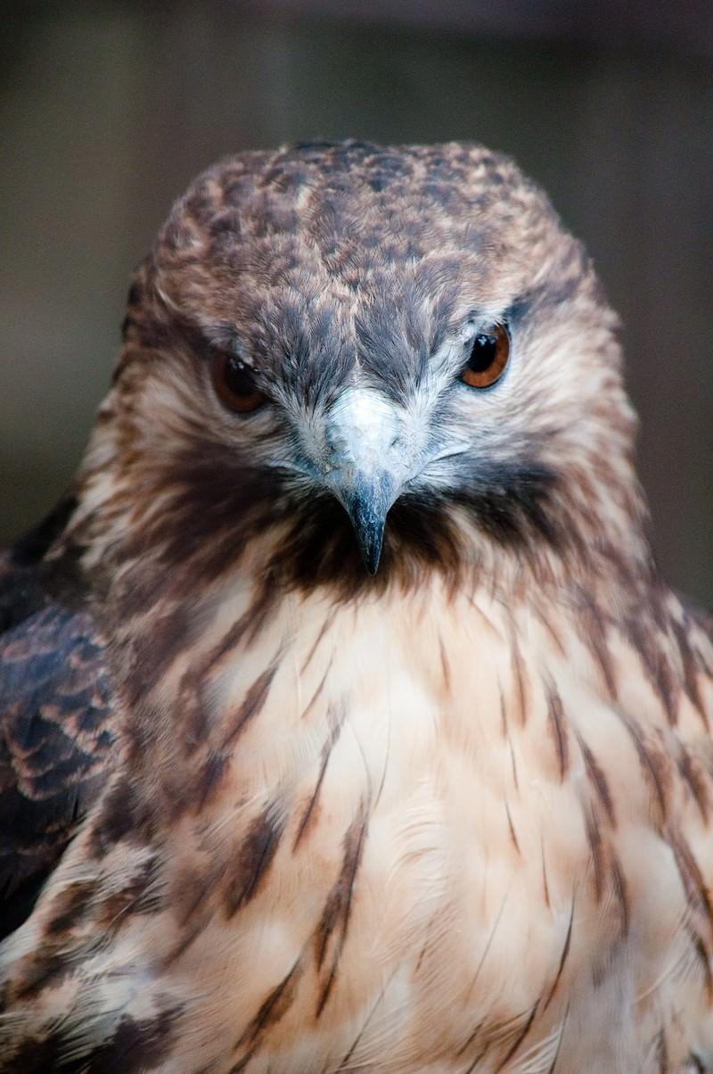 「ノスリ(鳥)の正面顔」の写真