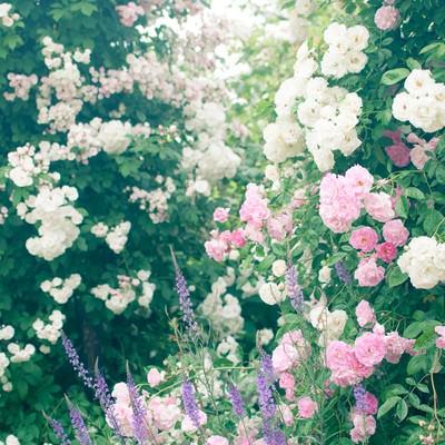 「オベリスクに絡まる蔓と薔薇」の写真素材