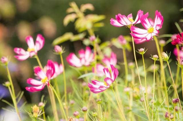 コスモスの花の写真