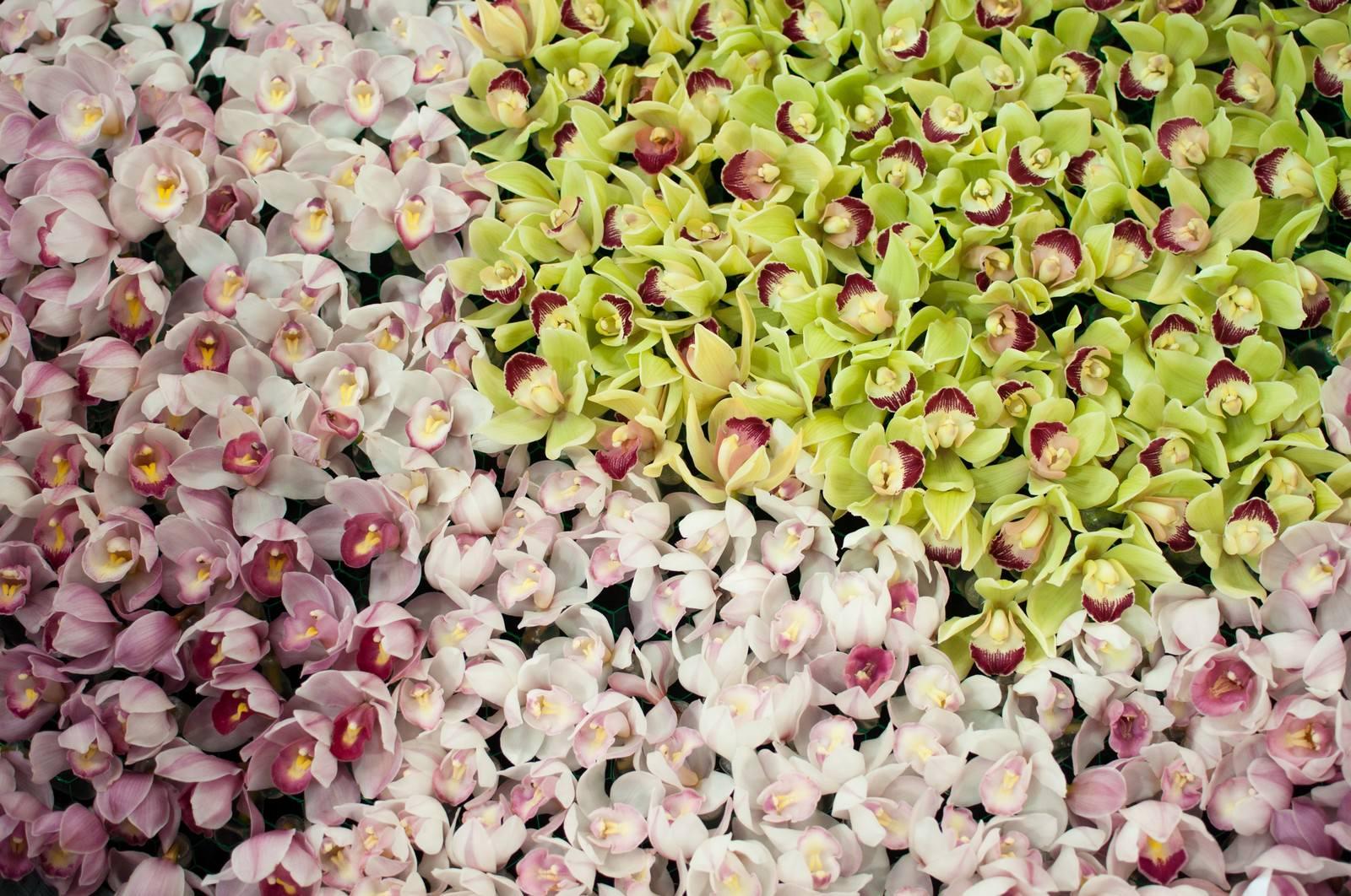「ひしめくシンビジュームの花」の写真