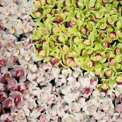 ひしめくシンビジュームの花の写真