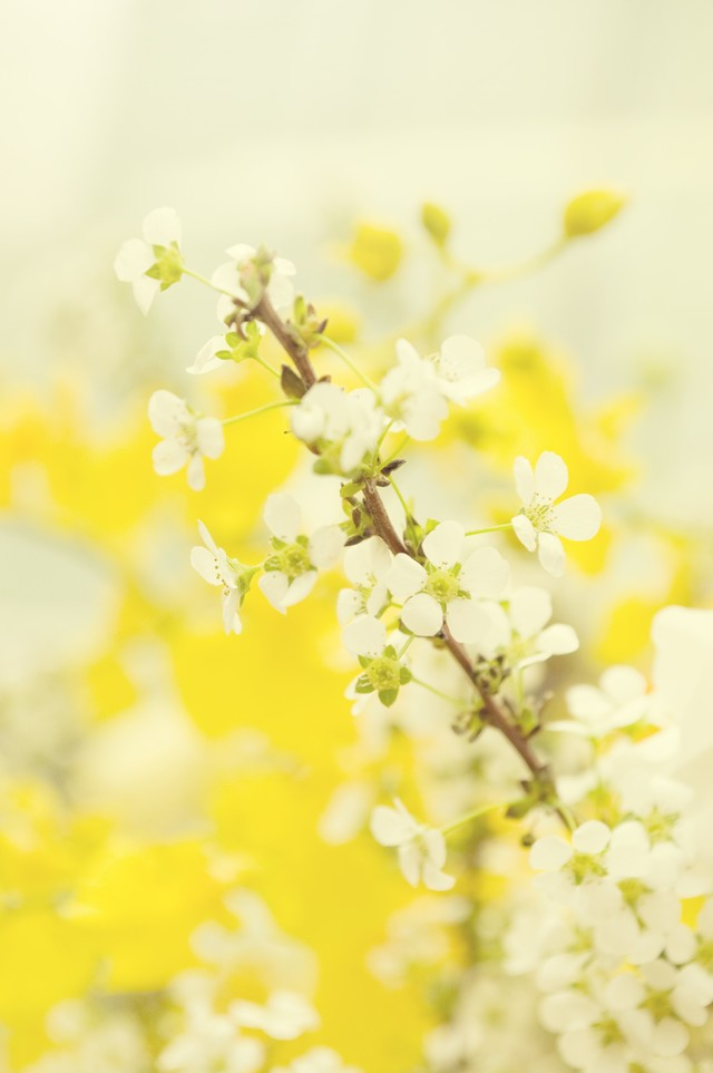 春風に揺れる雪柳の写真
