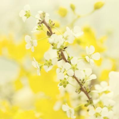 「春風に揺れる雪柳」の写真素材