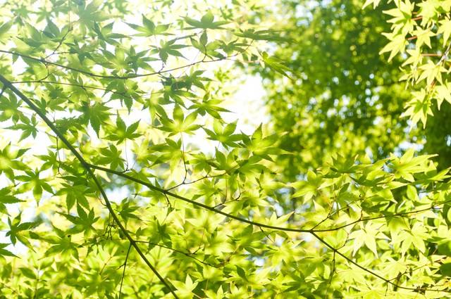 光に透ける葉