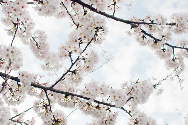 空に咲く染井吉野の写真