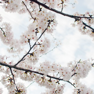 「空に咲く染井吉野」の写真素材