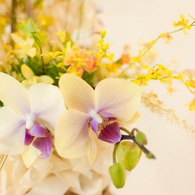 「花開く洋ラン」の写真素材