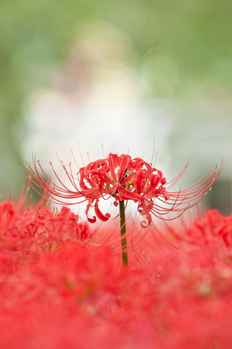 「巾着田の彼岸花」の写真
