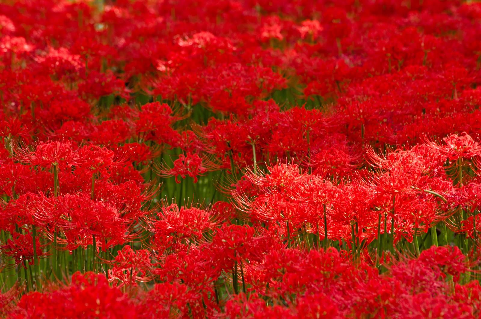 「赤い彼岸花のテクスチャー」の写真