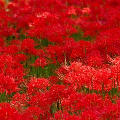 赤い彼岸花のテクスチャーの写真