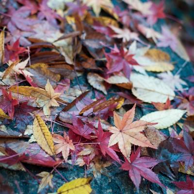「雨に濡れた木の葉」の写真素材