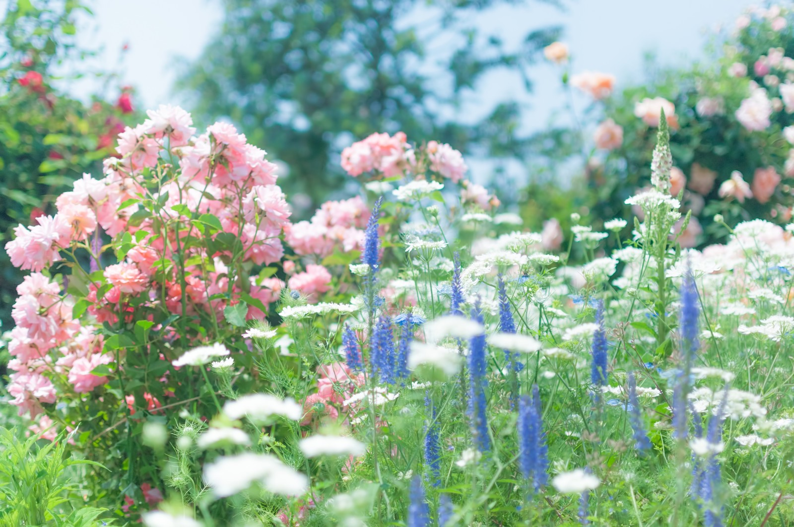 「バラの咲く庭」
