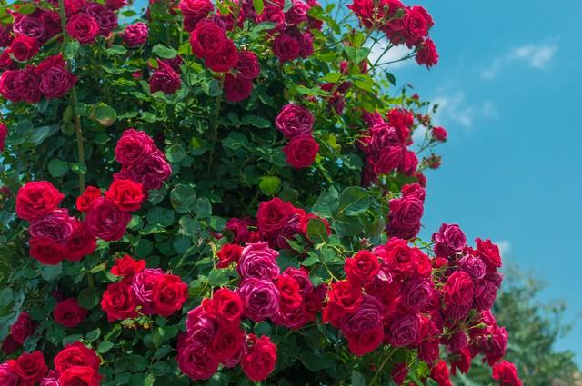 赤いバラのオベリスクの写真