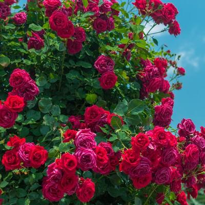 「赤いバラのオベリスク」の写真素材