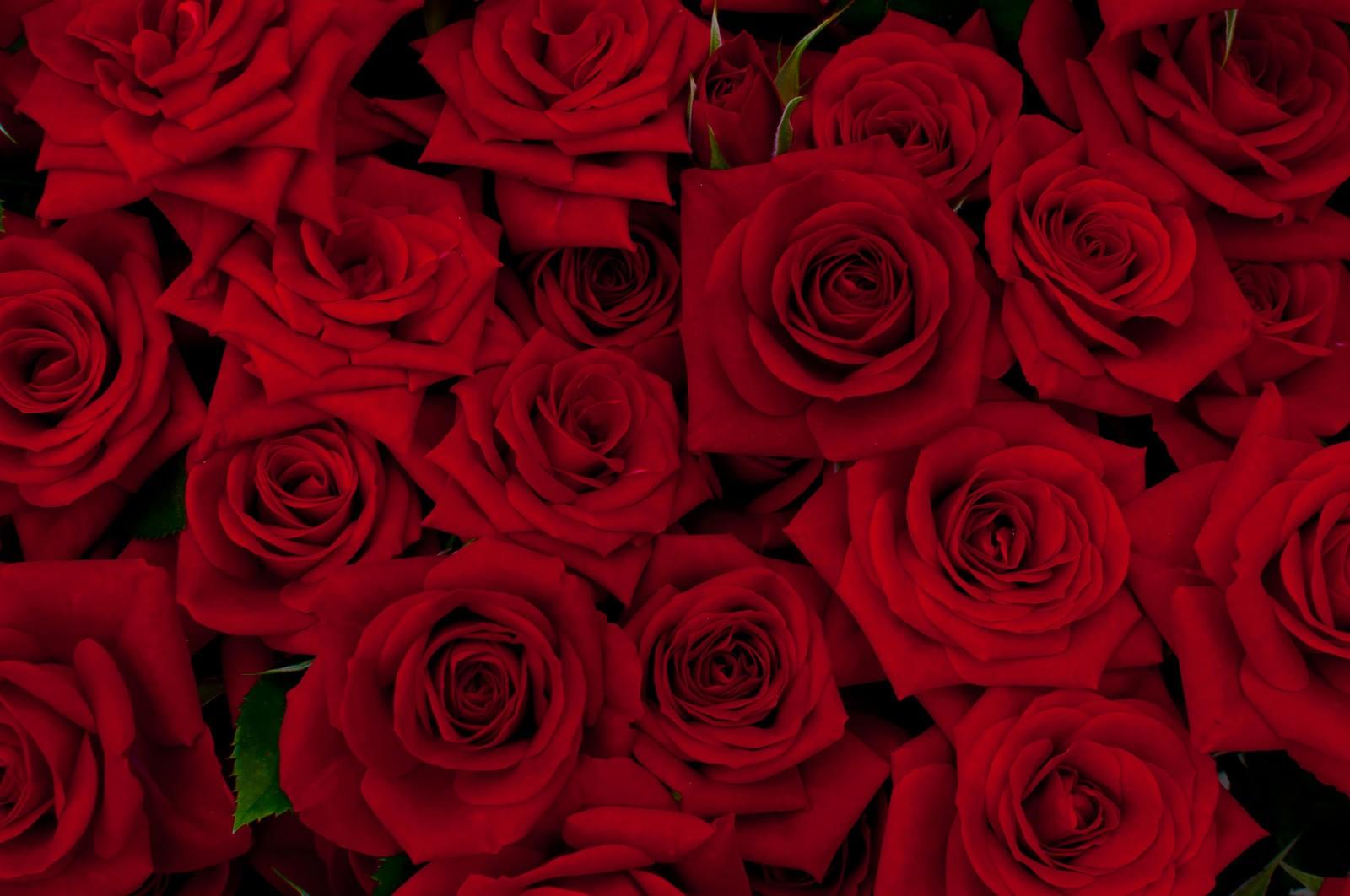 「赤い剣弁咲のバラ | 写真の無料素材・フリー素材 - ぱくたそ」の写真