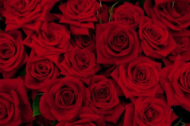 赤い剣弁咲のバラの写真