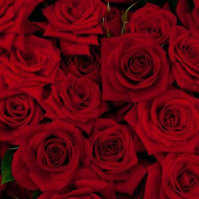 「赤い剣弁咲のバラ」の写真素材