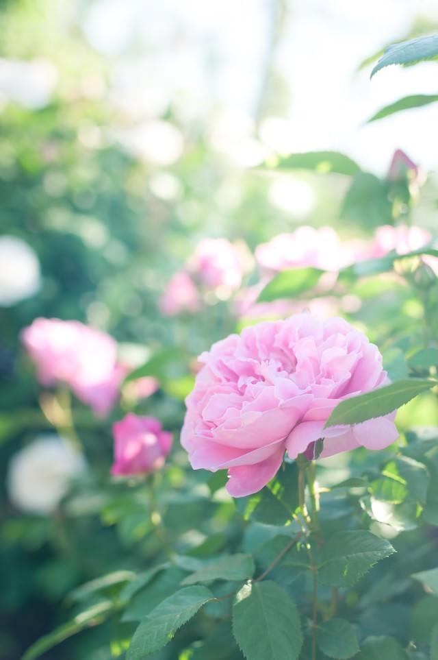 朝のバラの写真