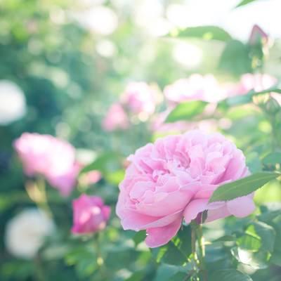 「朝のバラ」の写真素材