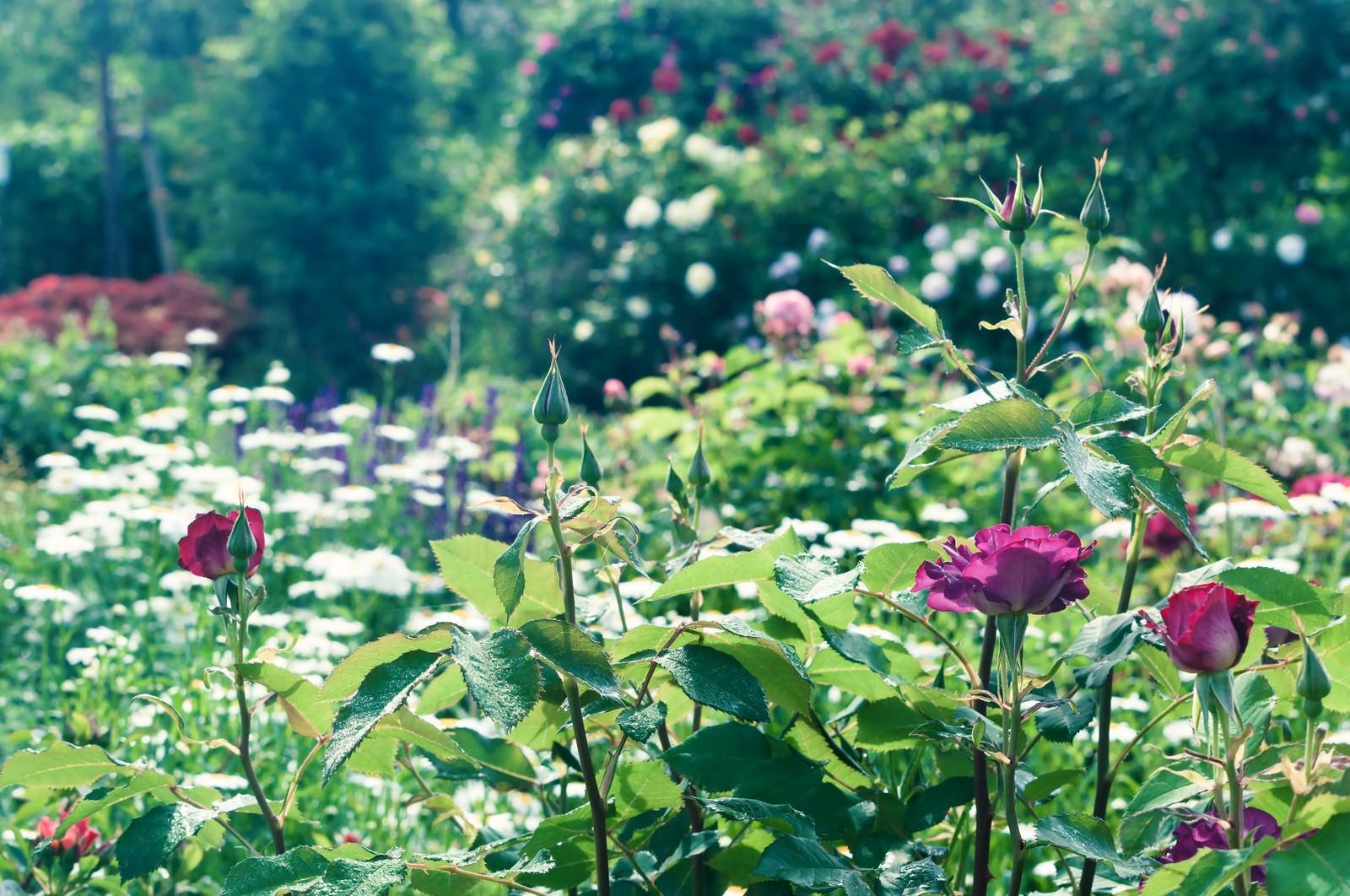 「薔薇の咲く庭」の写真