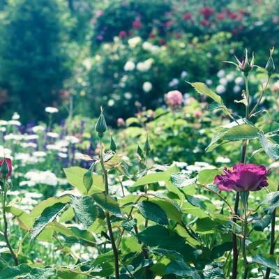 薔薇の咲く庭の写真