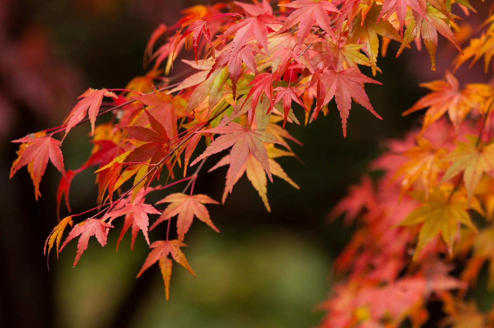 「紅葉するイロハモミジ紅葉するイロハモミジ」のフリー写真素材を拡大